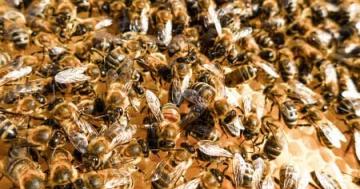 Bienen erzeugen Propolis