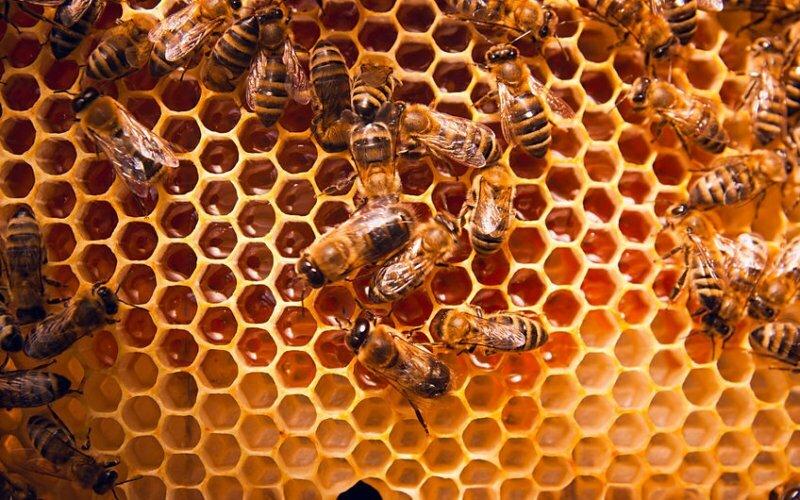 Bild zeigt Bienen