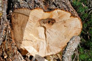 Luftgetrocknetes Zirbenholz vereint zahlreiche Vorteile. Im österreichischen Alpenraum wird dieser naturbelassene Rohstoff seit Jahrhunderten für die Herstellung von Möbelstücken und Einrichtungsaccessoires eingesetzt. Zirbenholz ist sehr widerstandsfähig, zeichnet sich jedoch durch seine samtweiche Oberfläche aus. Die wohlriechenden ätherischen Öle der Zirbelkiefer haben einen positiven Einfluss auf das gesamte Raumklima und schlagen Lebensmittelmotten in die Flucht. Holz, Harz sowie Nadeln des imposanten Baumes enthalten den Wirkstoff Pinosylvin, der in erster Linie für seine antibakteriellen und antiseptischen Eigenschaften geschätzt wird. Deshalb ist die Zirbenbrotdose ein idealer Ort, um Backwaren hygienisch und keimfrei aufzubewahren. Zirbenholz reguliert das Feuchtigkeitsniveau im Inneren der Brotdose. Hierdurch wird die Bildung von Schimmel verhindert und Brot bleibt länger genießbar. Die handgefertigte Zirbenbrotdose der ZirbenFamilie punktet mit ihrer passgenauen Verarbeitung. Ihr puristisches Design ist ein Gewinn für jede Küche.