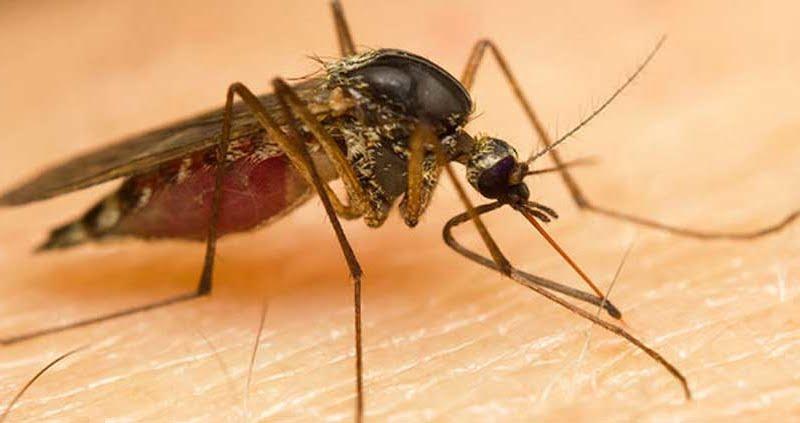 Bild zeigt Stechmücke