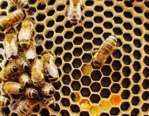 Bienen und Honigwaben